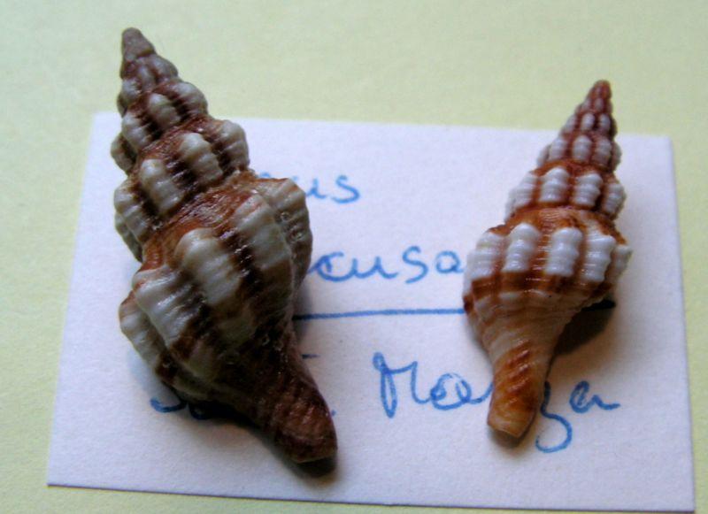 Aptyxis syracusana - (Linnaeus, 1758) Fussyra10