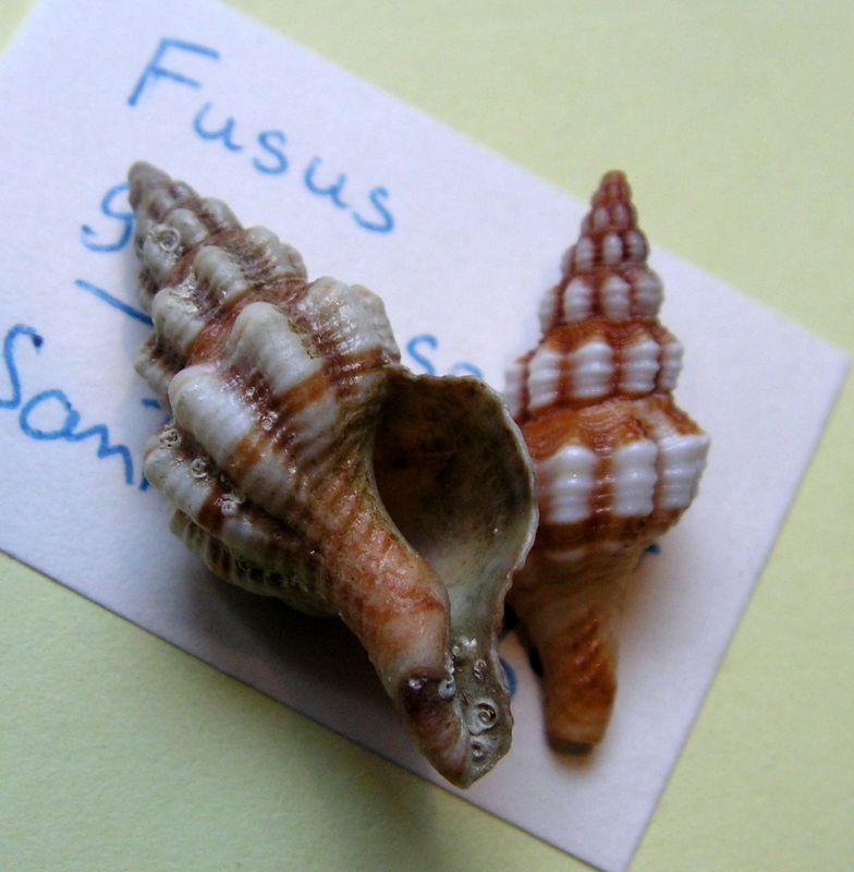 Aptyxis syracusana - (Linnaeus, 1758) Fussyra12