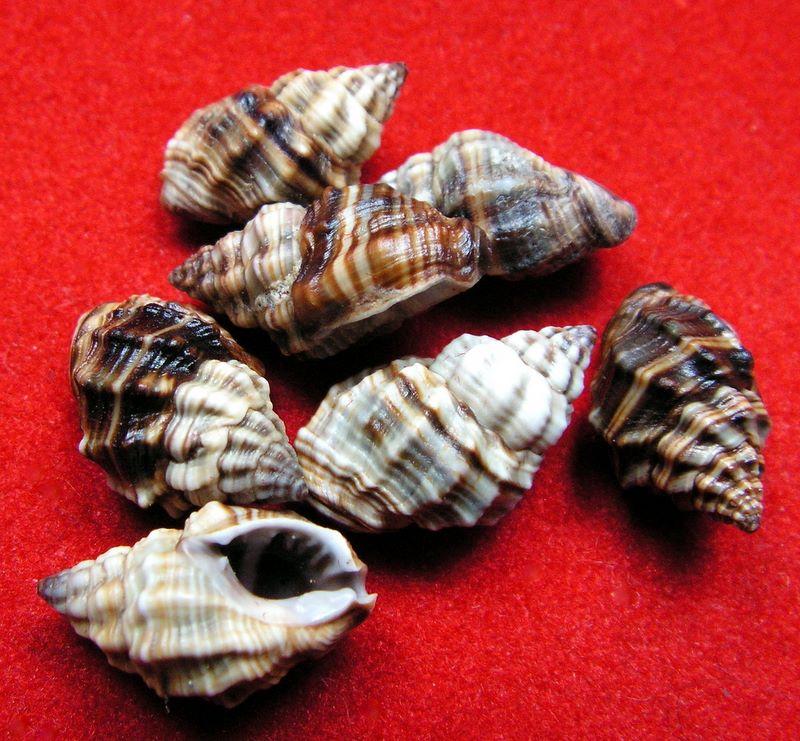 Nassarius niger - (Hombron & Jacquinot, 1848) Hebcort10