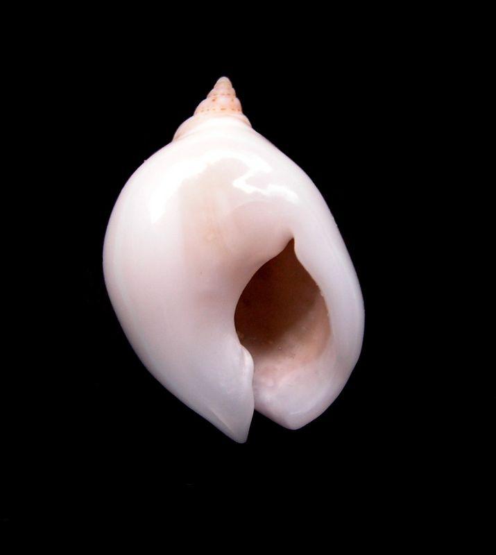 Nassarius circumcinctus - (A. Adams, 1852) Nascircu15