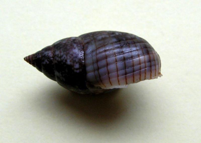 Nassarius limnaeiformis (Dunker, 1847) ou Nassarius marratii (E A Smith, 1876) / A vérifier Naslimne10