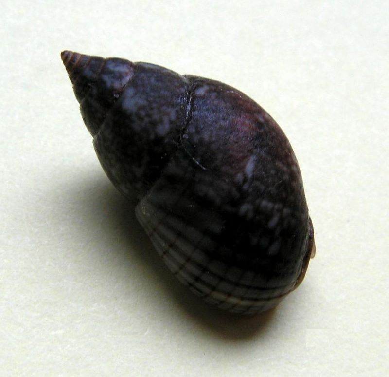 Nassarius limnaeiformis (Dunker, 1847) ou Nassarius marratii (E A Smith, 1876) / A vérifier Naslimne11