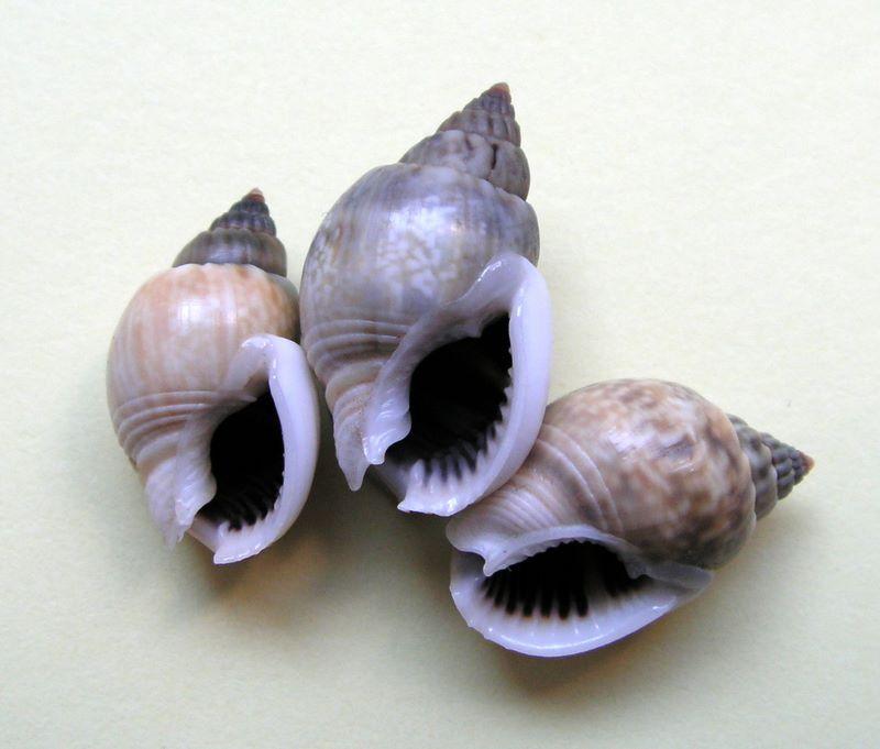 Nassarius graphiterus - (Hombron & Jacquinot, 1848) Nasluri11