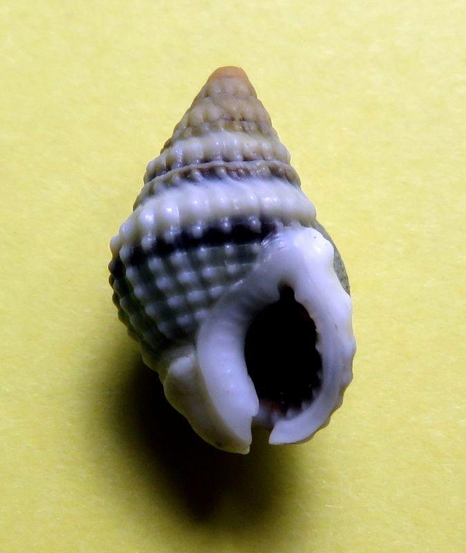 Nassarius oui mais lequel ????  N. natalensis (Smith 1903)... Nassalba13