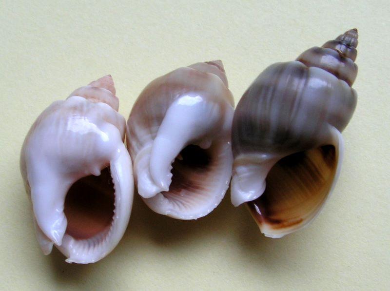 Nassarius arcularia - (Linnaeus, 1758)  Nascoro12