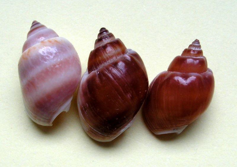 Nassarius arcularia - (Linnaeus, 1758)  Nascoro26