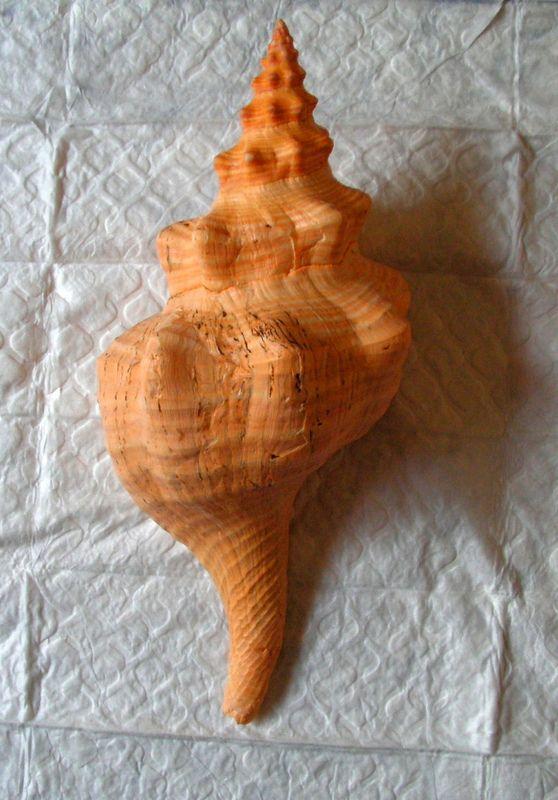 Triplofusus giganteus - (Kiener, 1840) Tripgiga15