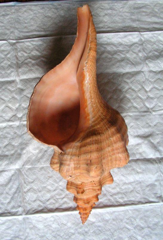 Triplofusus giganteus - (Kiener, 1840) Tripgiga16