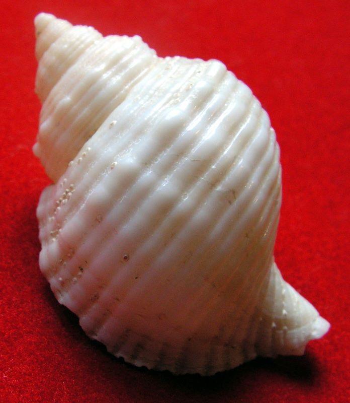 Cymatiidae Linatella caudata - (Gmelin, 1791) Lincin10