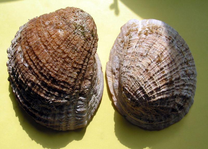 Concholepas concholepas - (Bruguière, 1789) Conchocon10