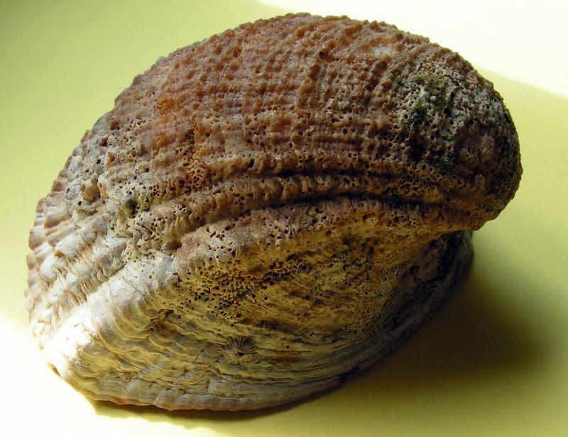 Concholepas concholepas - (Bruguière, 1789) Conchocon15