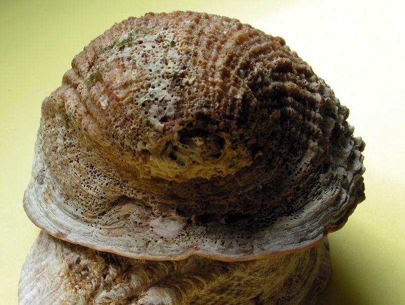 Concholepas concholepas - (Bruguière, 1789) Conchocon16