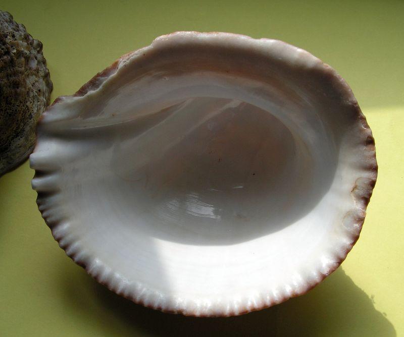 Concholepas concholepas - (Bruguière, 1789) Conchocon17