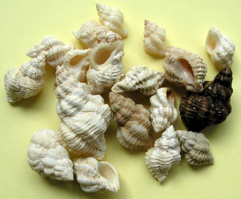 Coralliophila meyendorffii - (Calcara, 1845) Cormey10