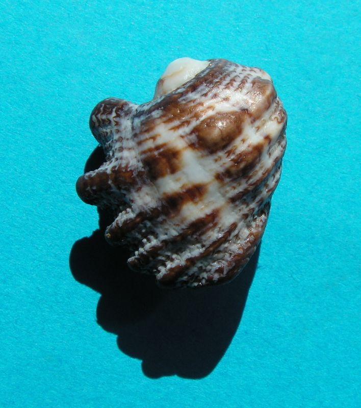 Drupina lobata - (Blainville, 1832) Druploba10