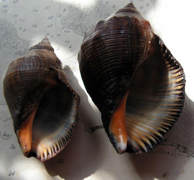 Stramonita haemastoma - (Linnaeus, 1767) Strahae12