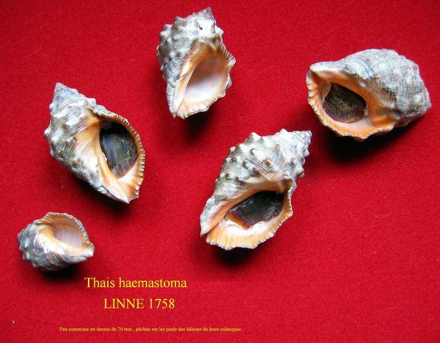 Stramonita haemastoma - (Linnaeus, 1767) Thahae11