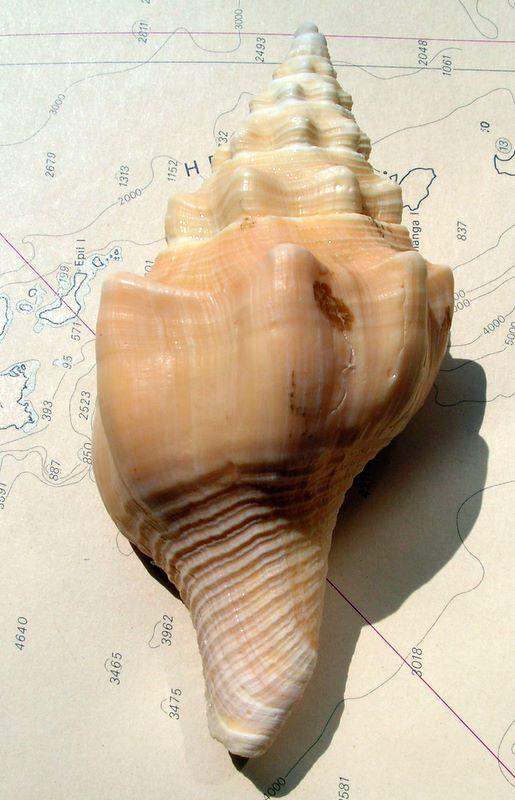 Turbinella angulata - (Lightfoot, 1786) Turbang12