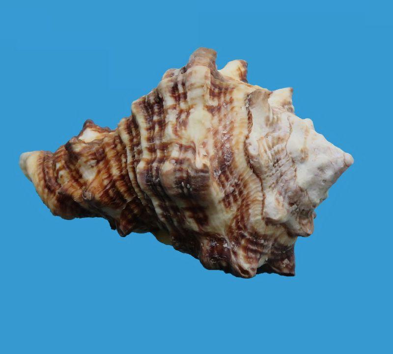 Vasum rhinoceros - (Gmelin, 1791) Vasurhin_0