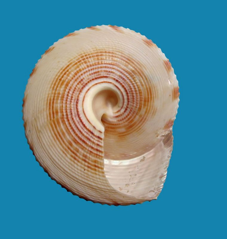 Calliostoma formosense (Smith, 1907) Callform12