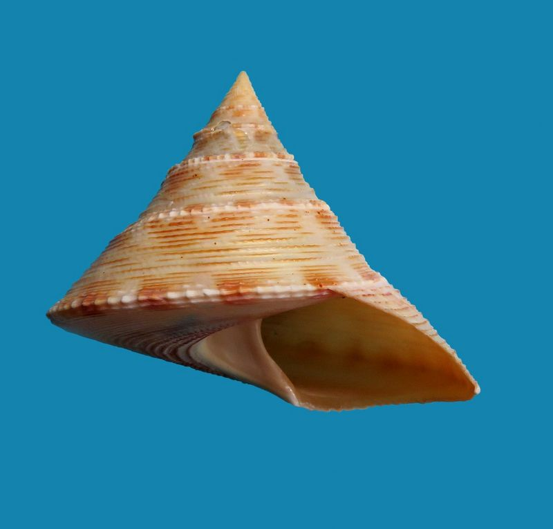 Calliostoma formosense (Smith, 1907) Callform_0