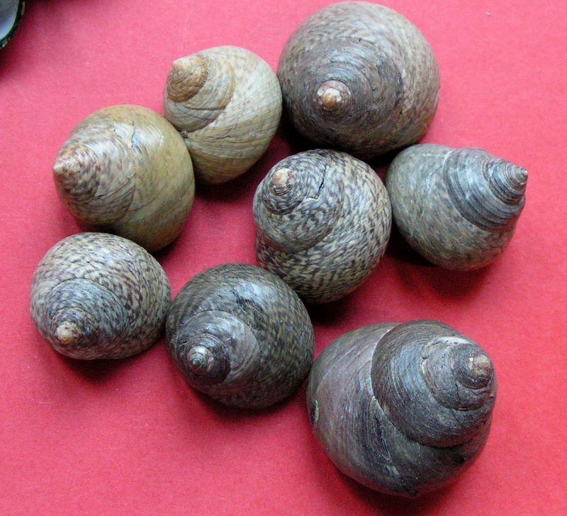 Phorcus lineatus - (da Costa, 1778) Monolin13