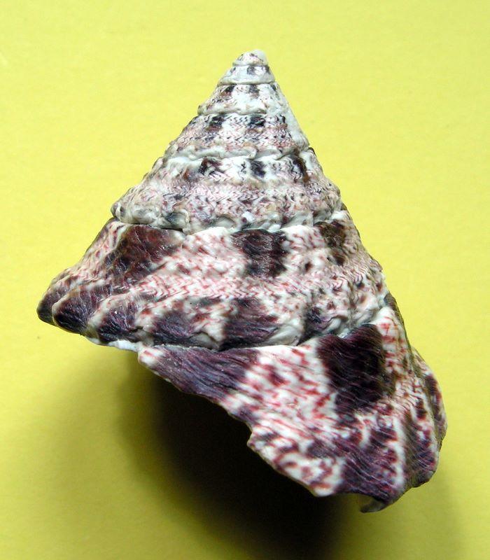 [résolu]coquille fossile ou actuelle? Trochus niloticus Linné, 1758 Tronilj12