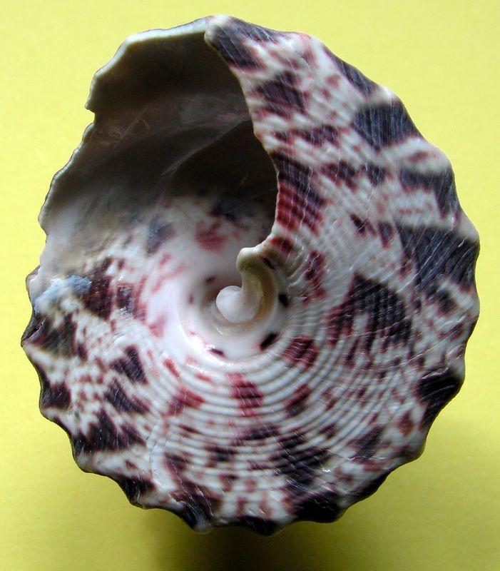 [résolu]coquille fossile ou actuelle? Trochus niloticus Linné, 1758 Tronilj_0