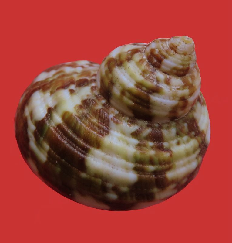 Turbo bruneus (Röding, 1798) Turbbrun16